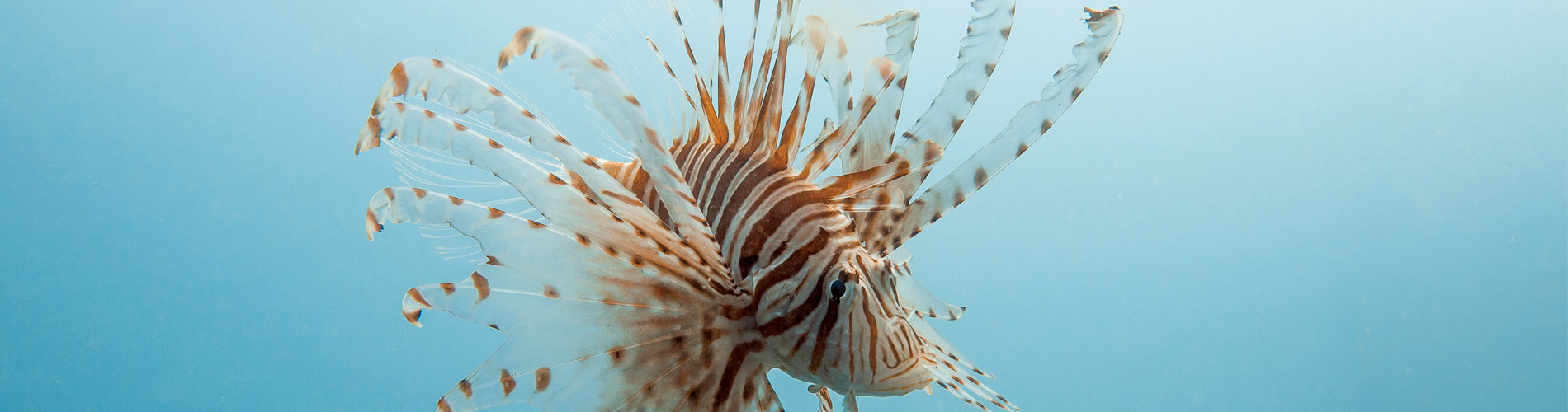 Wishes for Fishes - Lionfish