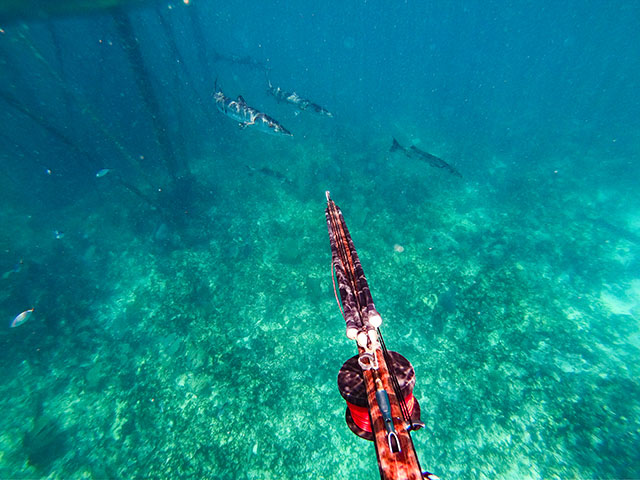 photo shows spearfishing for barracuda