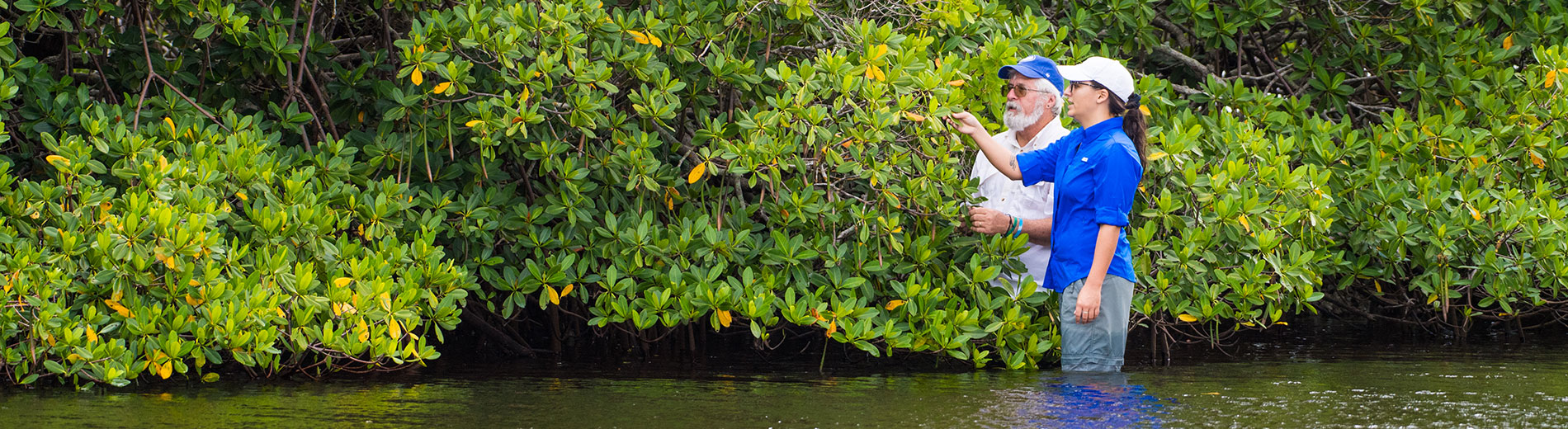 Photo show researchers looking at mangroves