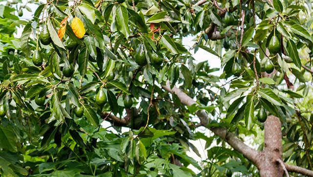 Photo shows avocado tree