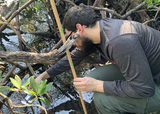 Photo shows FGCU student measuring mangroves
